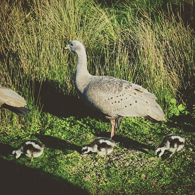 phillipisland_goose_birds_family