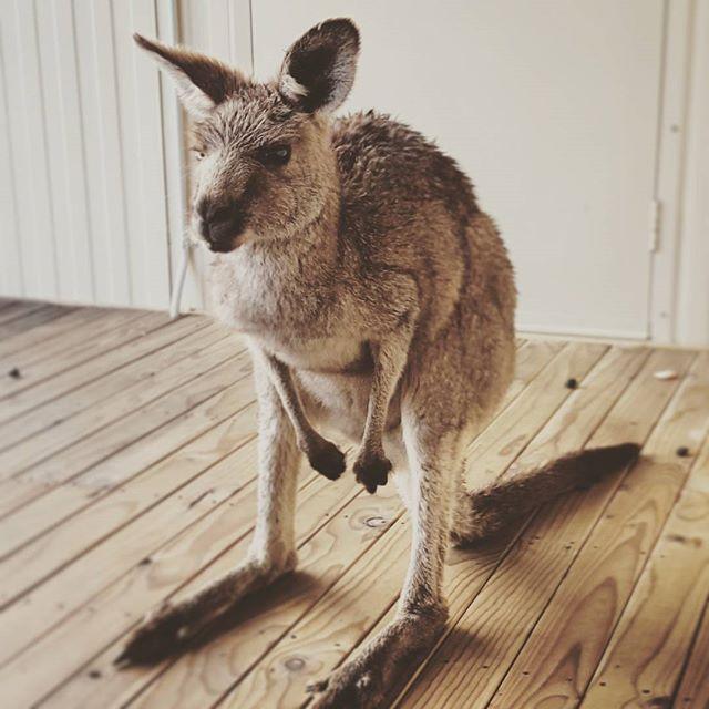 SSO_kangaroo