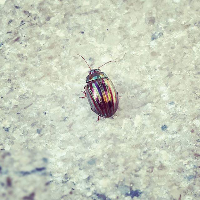 kreta-beetle
